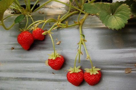 Small, tasty strawberries for the taking